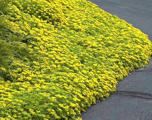 Gardening, ground cover ideas, perennial ground cover ideas, landscape inspiration, popular pin, perfect garden, gardening hacks, landscaping tricks
