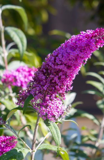 Here are some amazing low-maintenance perennials to try growing now! These 17 perennials will be less work for you, as they are tough flowers that will come back each season. Beautiful flowers without all of the work of some others. The butterfly bush will quickly become your favorite.