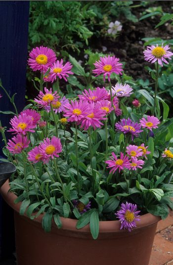 Here are some amazing low-maintenance perennials to try growing now! These 17 perennials will be less work for you, as they are tough flowers that will come back each season. Beautiful flowers without all of the work of some others. Asters will add some great end of summer color to your yard.
