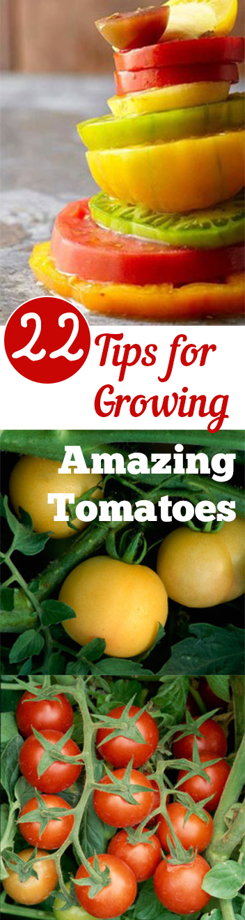 Gardening, home garden, garden hacks, garden tips and tricks, growing tomatoes, how to grow tomatoes, tomato growing hacks, growing plants, gardening DIYs, gardening crafts, popular pin.