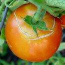 Gardening, home garden, garden hacks, garden tips and tricks, growing tomatoes, how to grow tomatoes, tomato growing hacks, growing plants, gardening DIYs, gardening crafts, popular pin.