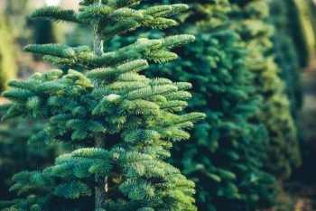 Perfect Christmas Tree | How to Pick the Perfect Christmas Tree | Christmas Tree | Picking a Christmas Tree | Tips and Tricks to Pick the Perfect Christmas Tree