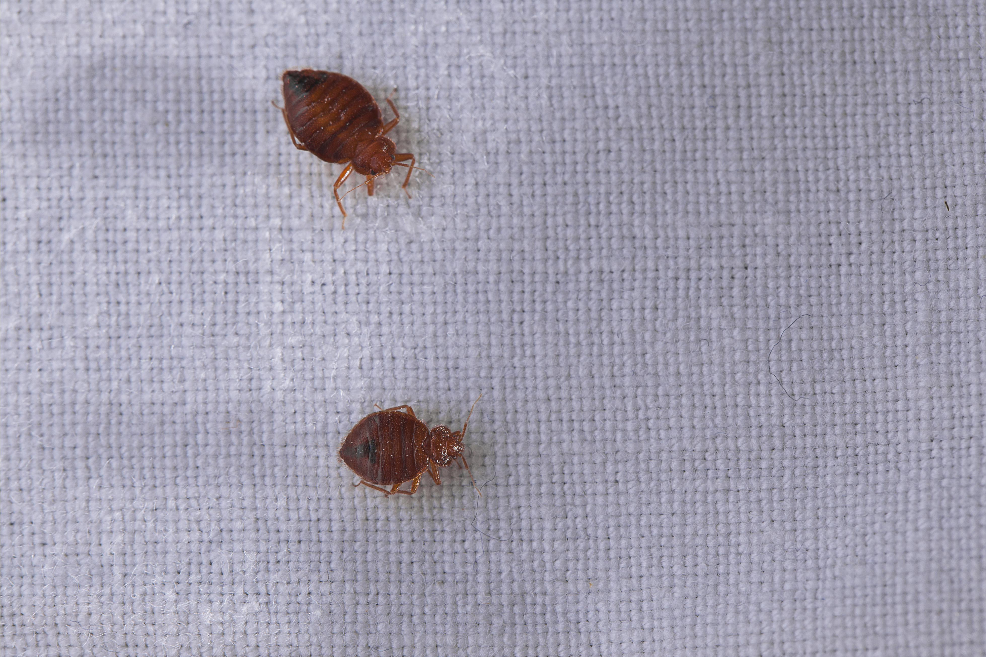 bed bugs | clean | cleanliness | traveling tips | bed bug tips | what to do if you have bed bugs | how to prevent getting bed bugs