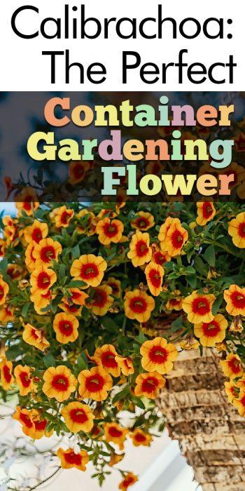 calibrachoa | container | container gardening | flowers | flowers for container gardening | plants for container gardening | gardening | plants